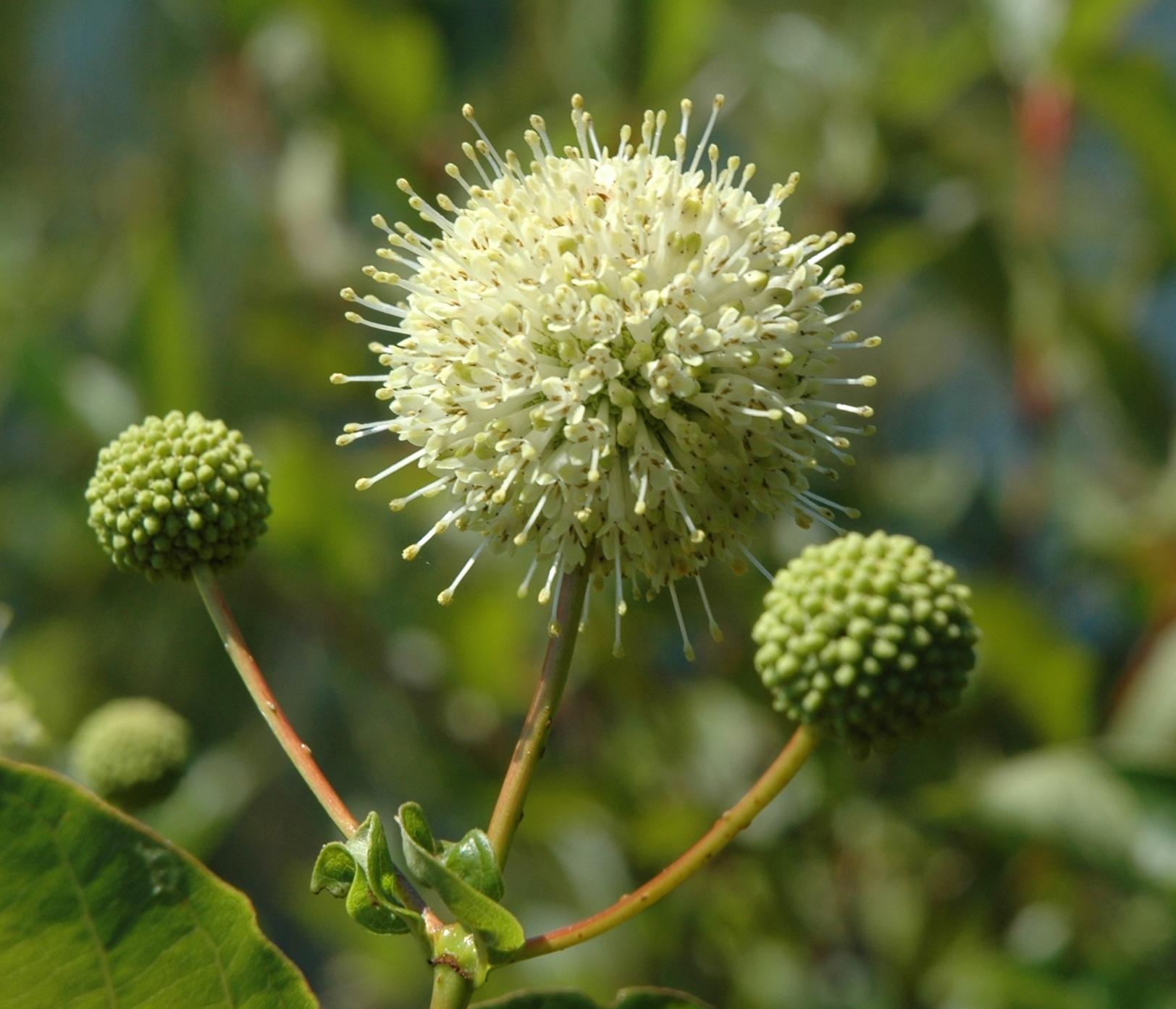 Cephalanthus occidentalis4