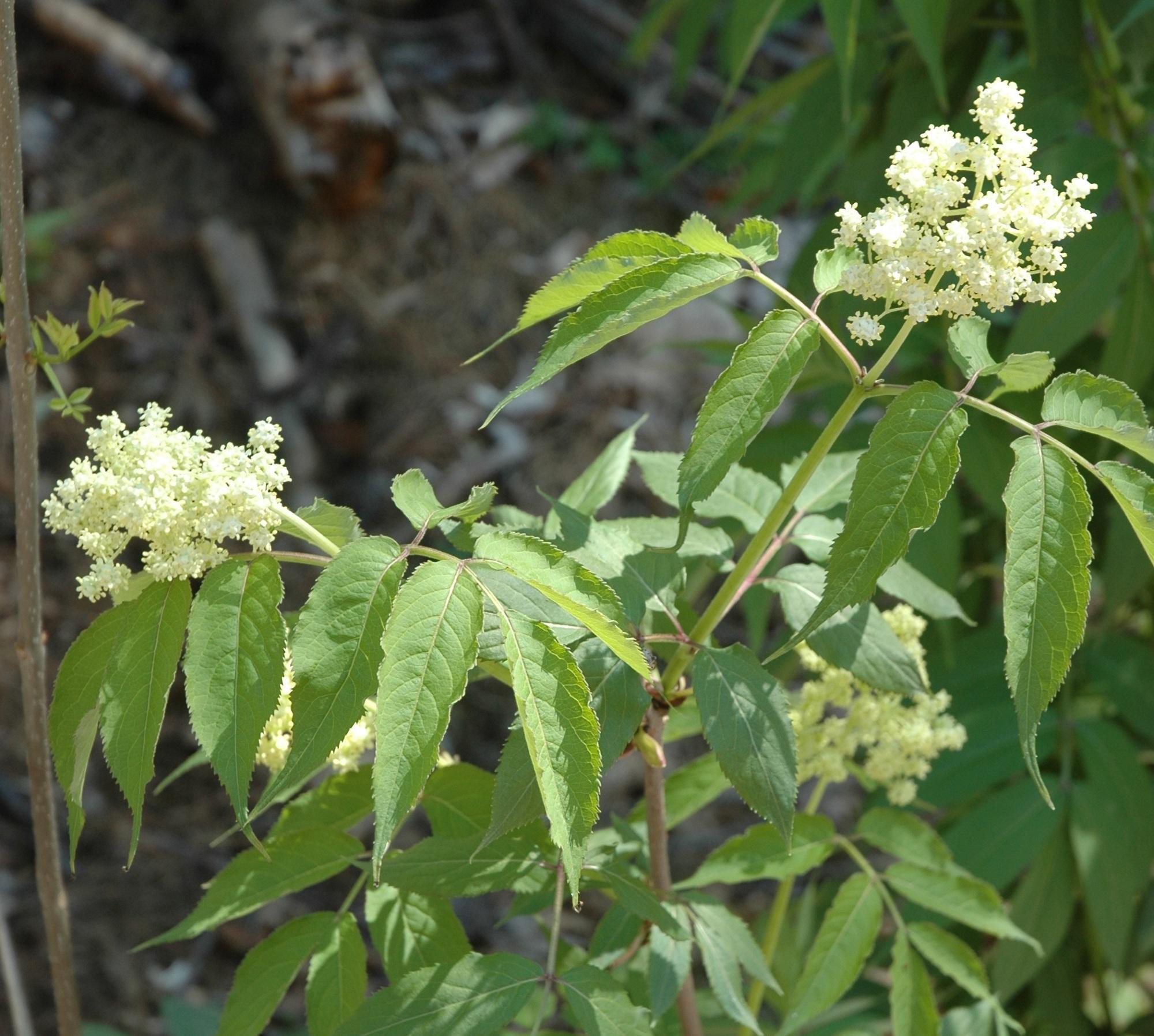 Sambucus racemosa flowers1