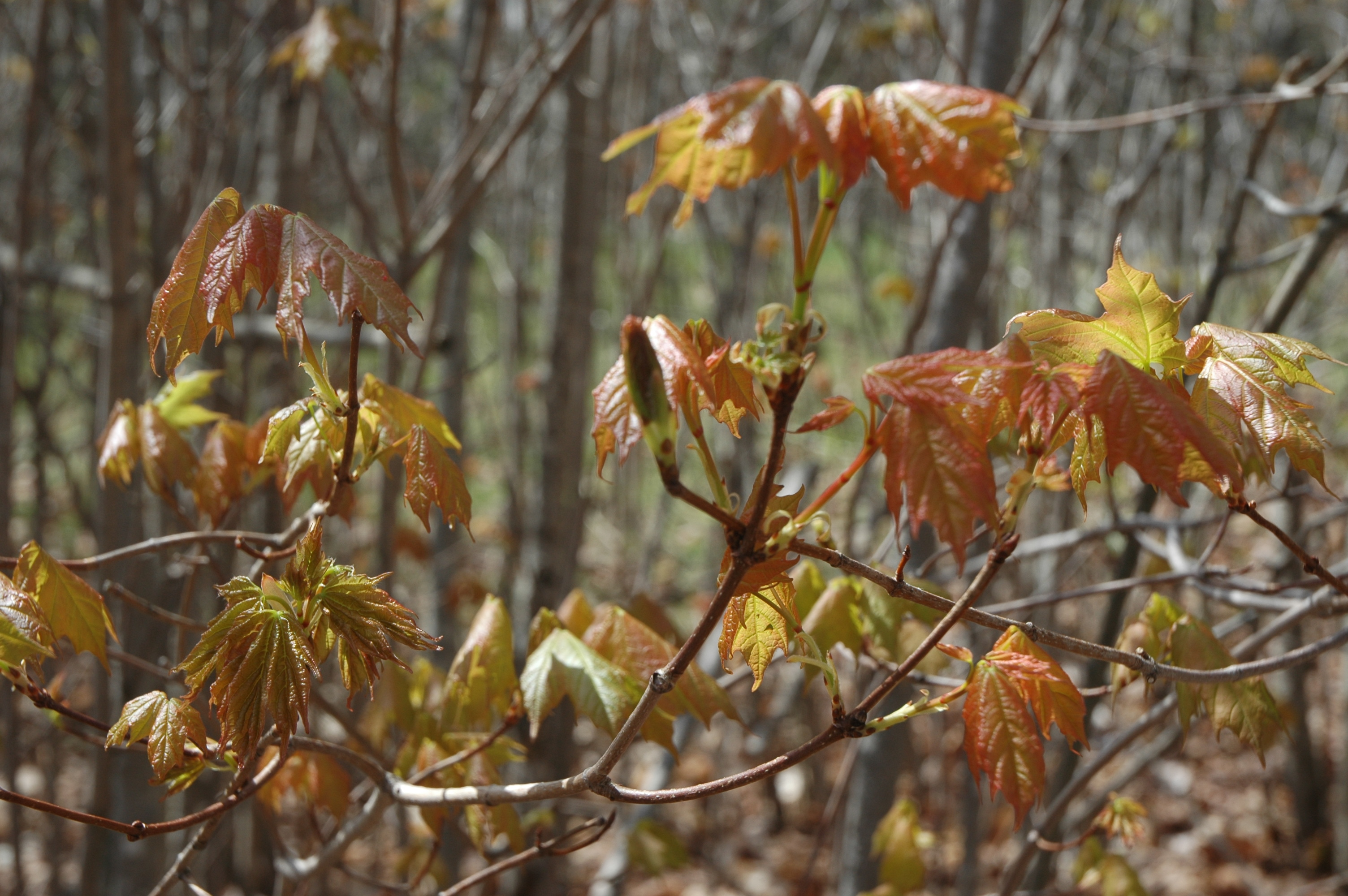 Acer saccharum'1