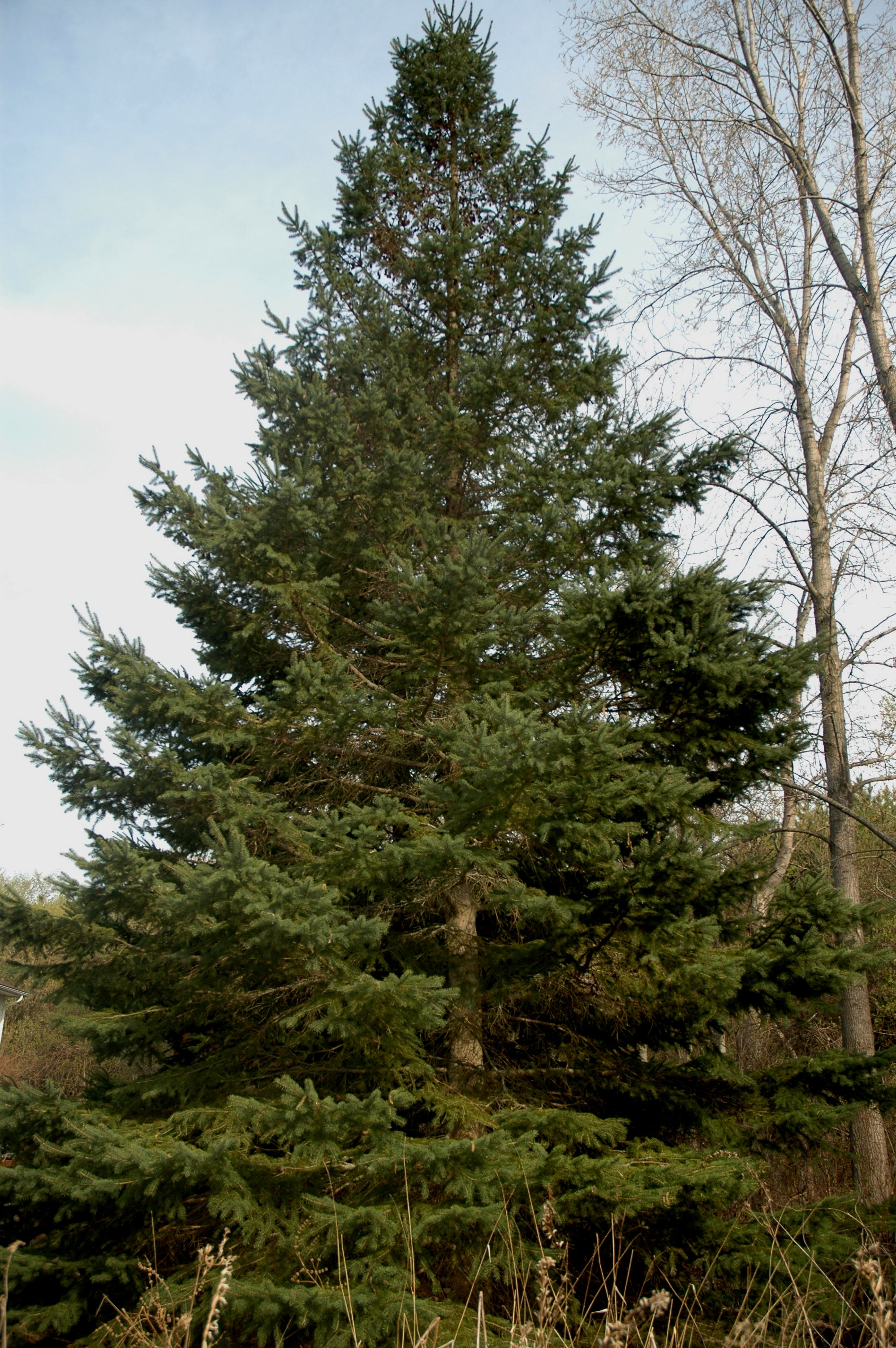 Picea glauca2