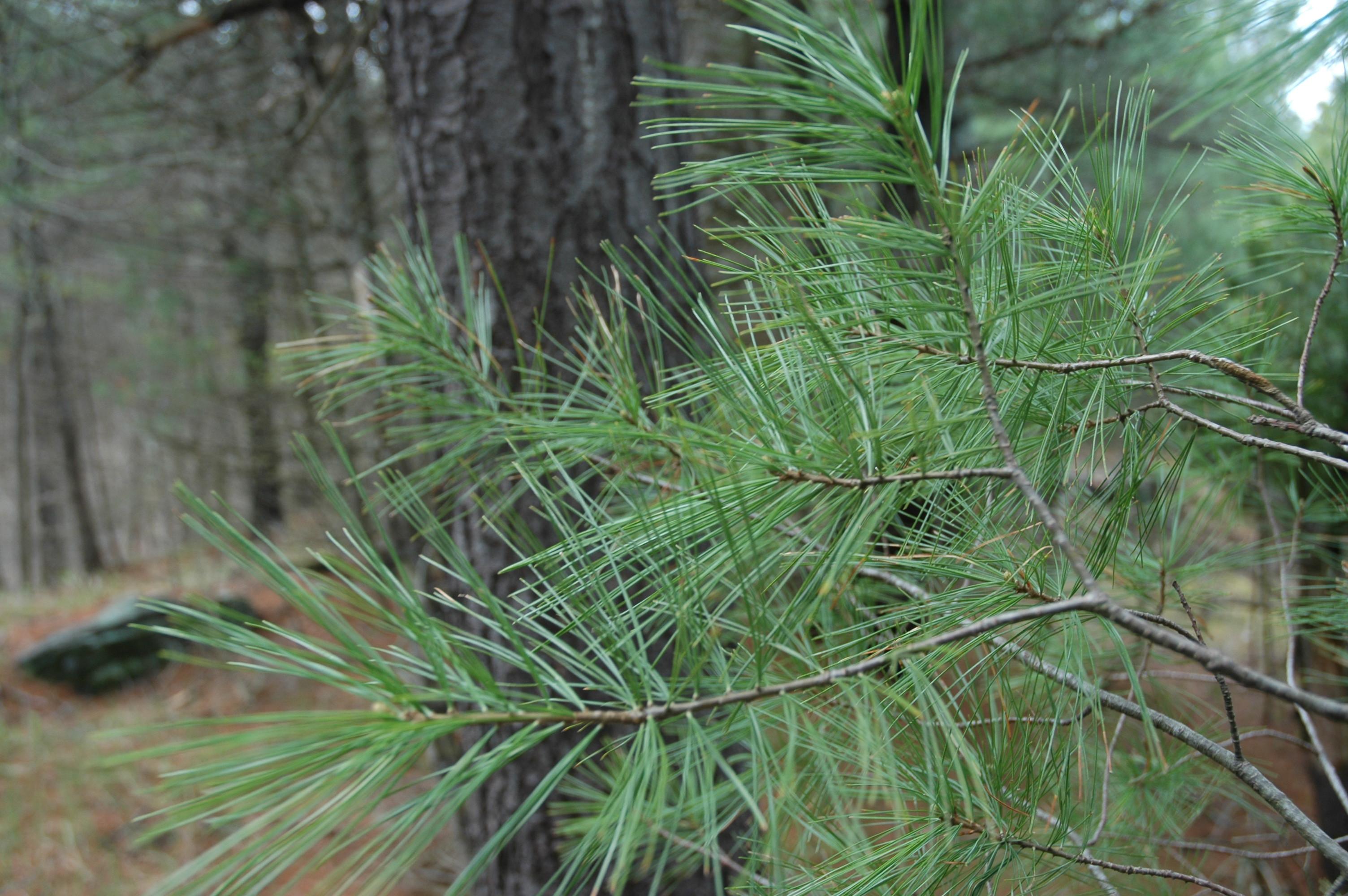 Pinus strobus2