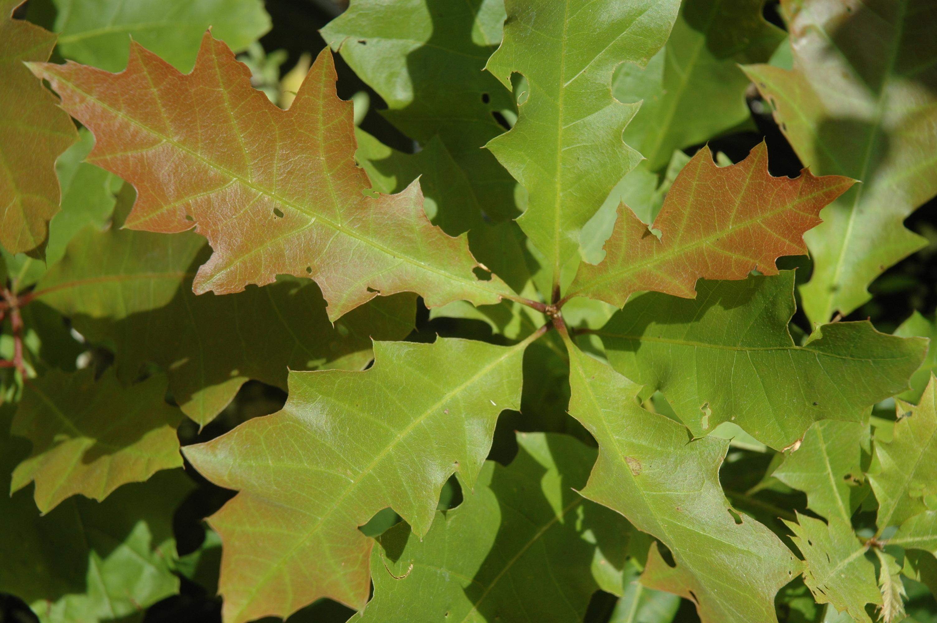 Quercus rubra'1